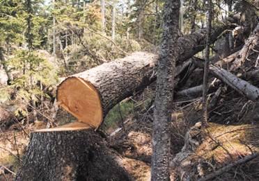 Какую древесину выбирать для строительства?